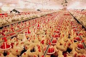 بست دانخوری مرغداری